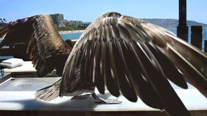 Pelican Wingspan Stock Photo by annamae22