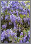 Wisteria.800-1518, with story by harrietsfriend