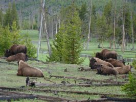 Bison on the Plains by morghach