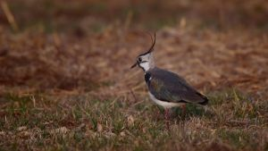 ...lapwing3... by Ulliart