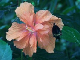 Butterfly on Hibiscus by tobilou