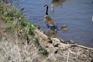 Mother Goose by OneLittlePixel