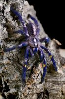 Poecilotheria metallica by Or4x1d