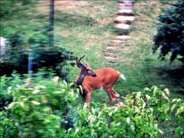 The Deer Photographed Trought A Window    by eskile