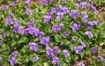 Carpet of Violets by muffet1