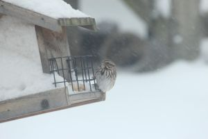 song sparrow by Laur720