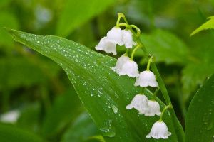 Lilly of the valley 2 by XxFairyNaturexX