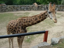 Giraffe at the zoo by TRADT-PRODUCTION