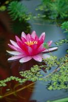 water lilies by brytts-gotno-wytts