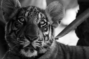 Tiger Cub by stinebamse