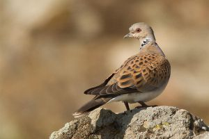 Turtle Dove by Jamie-MacArthur