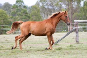 Dn wb chestnut trot side view legs back by Chunga-Stock