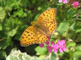 A High Brown Fritillary by musicalcat