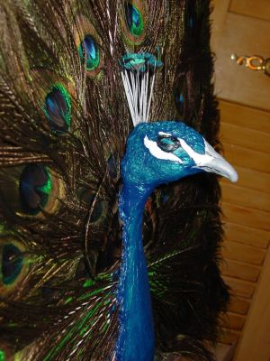 Eye of the Peacock side view