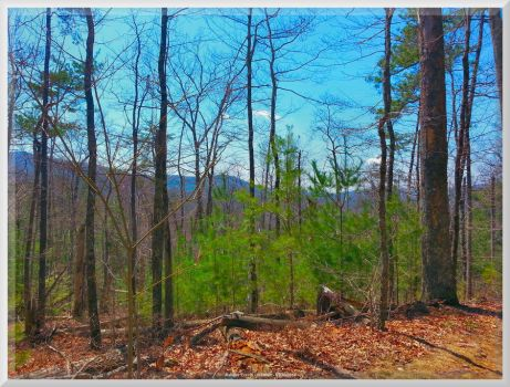 Baby Pines on Ace Gap Trail by slowdog294