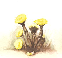 Tussilago coltsfoot by SaintBonkers