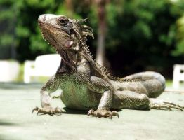 Iguana by CHRISTYsoCUTE