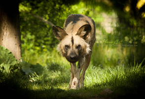 African Wild Dog: Stalking by Flame-of-the-Phoenix