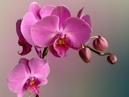 Another Orchid by stenialo