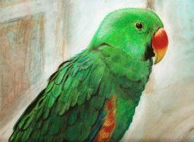 Parrot eclectus by chuckie96