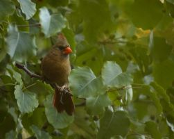 Female Cardinal July - 2014 - 19 - 2 by toshema
