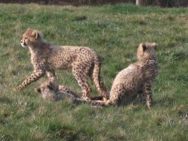 2011 - Cheetah cubs by Lena-Panthera