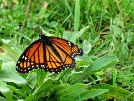 Viceroy in the Grass by Michies-Photographyy