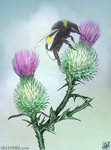Bombus lucorum on a thistle by dragonhope