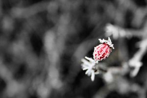 Frosty Red Berry by lorni3