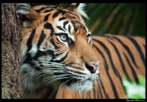 Tiger Close Up by daniellepowell82