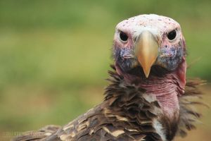 Lappet-Faced Vulture by somesoul