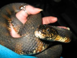 Banded Water Snake by pitbulllady