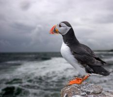 Puffin by Roys-Art