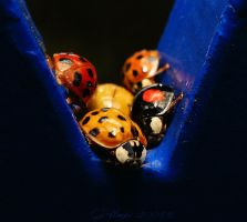 Ladybug Collection by webcruiser