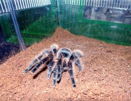Curly Hair Tarantula by Jenn-Coney1976