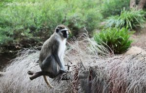 Vervet Monkey-Cercopithecus aethiops by RainThatFallsSoftly