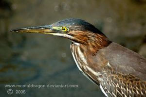 Green Heron Portrait 2 by mentaldragon