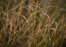 Gold Grass by Suinaliath