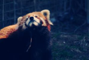 Red Panda by tiganesc