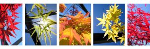 Maples by CwK