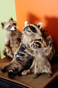 Raccoon Taxidermy family photo (with new addition) by Meddling-With-Nature