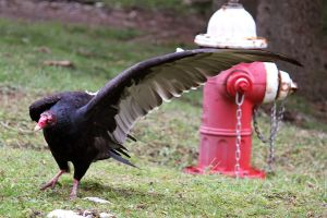 Turkey Vulture Stock 2: Wing by HOTNStock