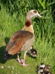 Egyptian goose by SSJGarfield
