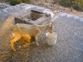 goat in lone island by seinseiber