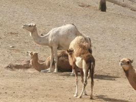 Camels by TimeWizardStock
