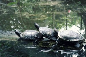 3 Turtle by poshbeck