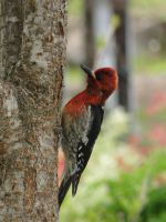 Red- Breasted Sapsucker by Electric-Mongoose