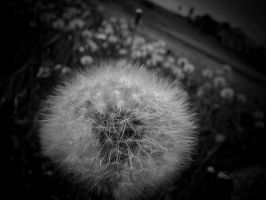 more dandelions... by Pauline-graphics