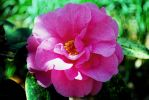 Pink Camellia by green-gumi-bear