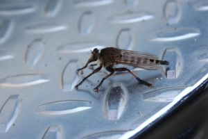 Robber fly by Lynxwing
